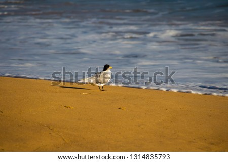 A splendid black and white graceful tern sternula albifrans is standing at the water's edge on peaceful Hutts Beach near Bunbury Western Australia on a late afternoon in early summer #1314835793