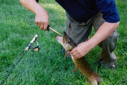 A sport fisherman has caught a fish by spinning and pulls the hook out of the pike's mouth using special tools so as not to damage the fish. The principle of catching -