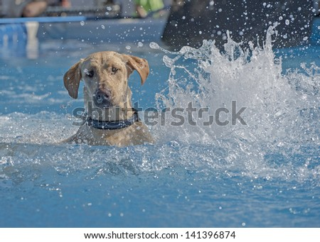 A sporting dog lands in the pool and searches for the toy, creates beautiful splash in the process