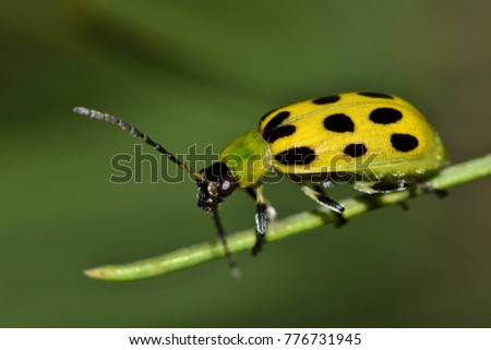 A Spotted Cucumber Beetle (Diabrotica undecimpunctata) makes its way along a pine needle. These beetles are considered pests in many parts of the US and will feed on crops such as cucumbers and corn.\n