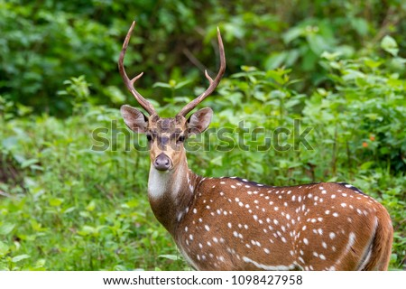 A spotted deer standing and looking attentively on a green background inside nagarhole tiger reserve during a wildlife safari