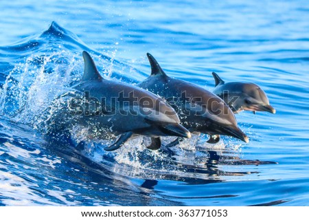 stock photo a spotted dolphin family leaping out of the clear blue hawaii waters 363771053 - Каталог — Фотообои «Животные»