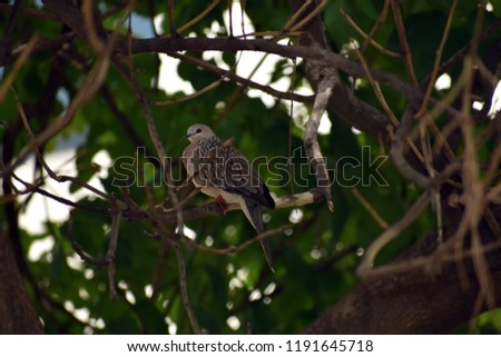 A spotted dove on a tree