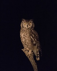 A Spotted Eagle Owl perched on a perfect branch from a fallen over tree
