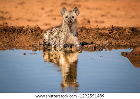 A spotted hyena (Crocuta crocuta), also known as the laughing hyena, cooling off in a water hole. South African wildlife.