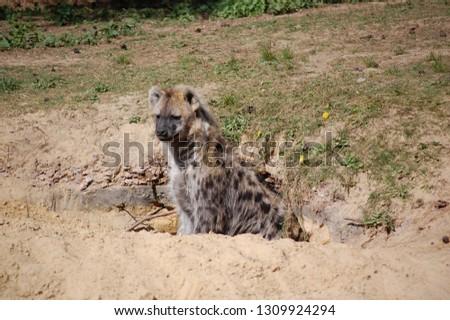 A spotted hyena (crocuta crocuta) looking out