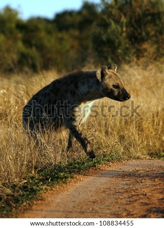 A spotted Hyena crosses the road during a safari in Addo Elephant national park,eastern cape,south africa - stock photo