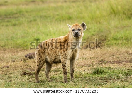 A spotted hyena in the Masai Mara savannahg, Kenya. The spotted hyena is also known as the laughing hyena