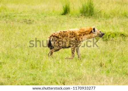 A spotted hyena mstalking prey in the Masai Mara, Kenya. The spotted hyena is also known as the laughing hyena
