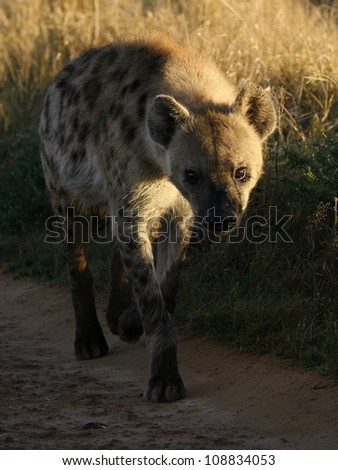 A spotted Hyena walks straight towards the camera during a safari in Addo Elephant national park,eastern cape,south africa