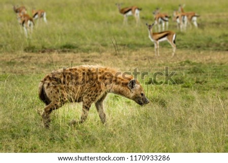 A spotted hyena with Thompson gazelle in background, in the Masai Mara, Kenya. The spotted hyena is also known as the laughing hyena