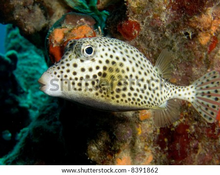 A Spotted Trunkfish in the Caribbean Sea off the Island of Bonaire, Netherlands Antilles - stock photo