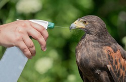 A spray bottle with water is used for cooling down a Captive Harris Hawk.