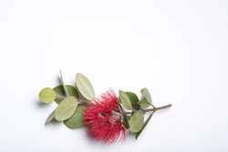 A spray of Tahitian pohutukawa with leaves and red blossom on a white background. 1
