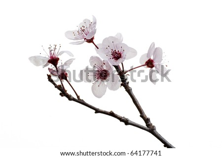 A sprig of cherry blossom, isolated