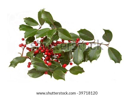 A sprig of fresh holly and berries. Clipping path included.