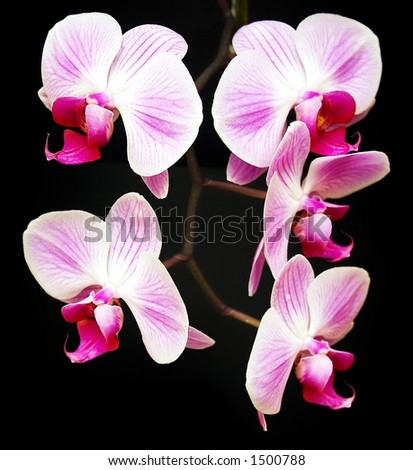 A sprig of pink orchids against a black background