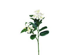 A Sprig White Tiare Flower With Leaf Isolated White Background