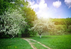 A spring landscape is with flowering apple-trees
