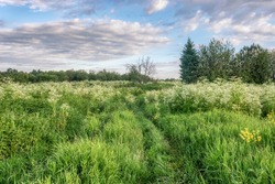 A spring meadow with tall grass, a small group of trees and a country road overgrown with grass. Blue sky with raised gray-white clouds. White honey flowers and fresh green grass. Early summer