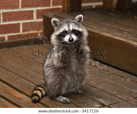 A spring raccoon that lives in an Ohio suburb - looks like he's begging or clapping.