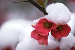 A spring snow covers japonica (Chaenomeles japonica) with a glistening coating of snow.
