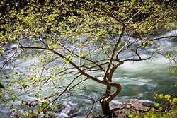 A spring tree against white water background along the South Branch of the Potomac River in Smoke Hole Canyon, Pendleton County West