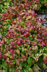 A spring view of Nandina domestica 'Firepower' in a cottage garden