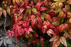 A spring view of Nandina domestica 'Firepower' in close up