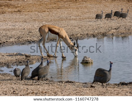 A Springbok antelope and birds drinking at a watering hole in the Namibian savanna