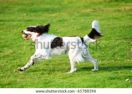 A springer dog running on the lawn