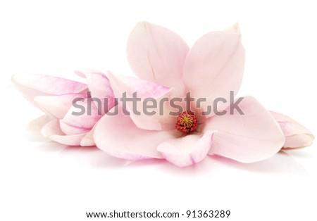 A springtime of magnolia flowers