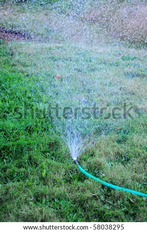 A sprinkler attached to a hose watering the grass lawn.