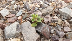 A sprout that rises through the barren gravel ground.