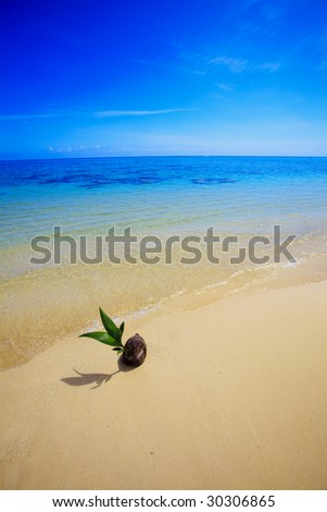A sprouting coconut washes up on the shore of a tropical beach in Hawaii