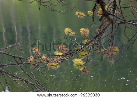 A spruce branch on still lake water background