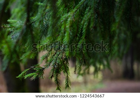 A spruce forest. Spruce branches. #1224543667