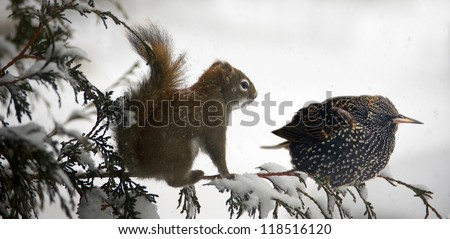 A squirrel and starling bird perched on a cedar branch together during a snowstorm.