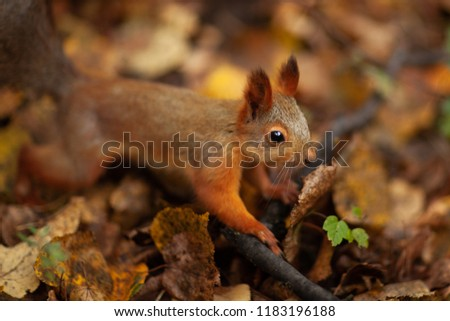 A squirrel in the forest. Autumn. A park. Moscow. Russia.