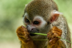 A squirrel monkey eats a blade of grass