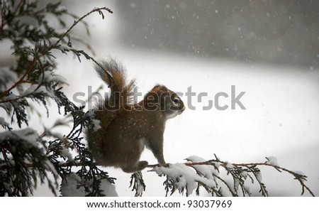 A squirrel perched on a cedar branch in the winter during a snowstorm.