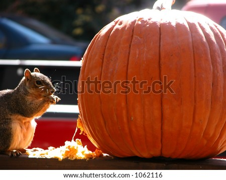 A squirrel steals the side of a pumpkin before devouring its insides