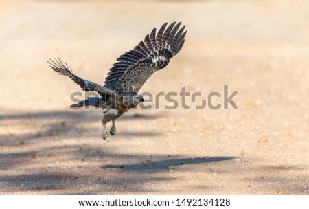 A Sri Lankan grey headed eagle headed eagle bird practicing predation skills