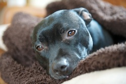 A staffordshire bullterrier wrapped up in a dog blanket