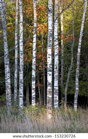 A stand of birch trees lines a roadside at Peninsula State Park in Door County, Wisconsin.