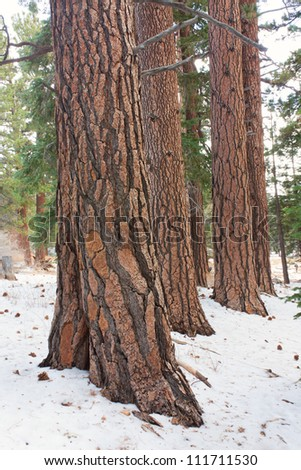 A stand of Coulter Pine at Mount San Jacinto