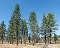 A stand of Ponderosa Pine (Pinus ponderosa) woodland vegetation community type in Fremont-Winema National Forest outside Lakeview, Oregon