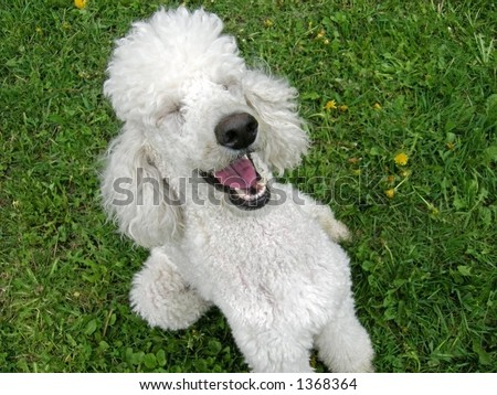A standard poodle appreciates a good joke