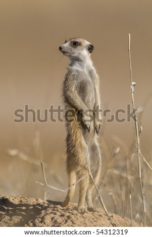 A standing meerkat looking over its shoulder
