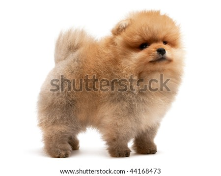 A standing single pomeranian spitz puppy; isolated on white background